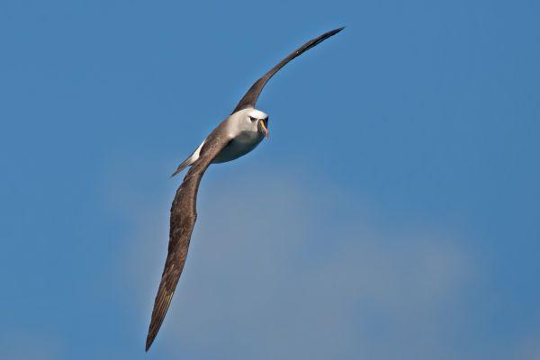 2011-04-11-atlantic-yellow-nosed-albatross-044038D2BF4-C0C3-3D7E-8F26-346A82F49164.jpg
