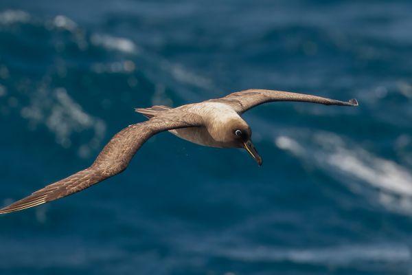 2011-04-11-sooty-albatross-016D585C790-CE01-AB47-04F2-56556425C660.jpg