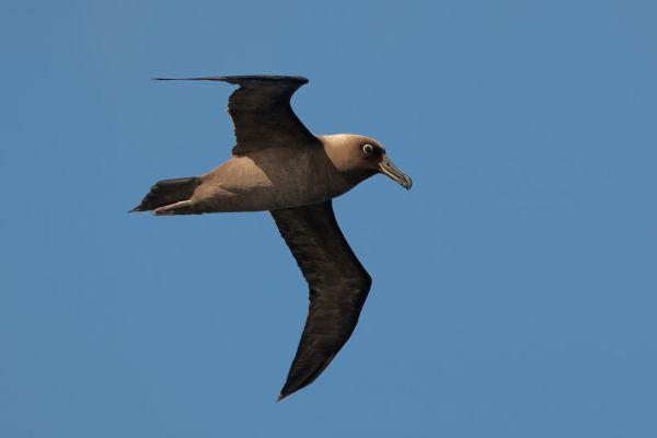 2011-04-11-sooty-albatross-047C48F89F4-F373-17BD-7FF8-D849AF219FB7.jpg