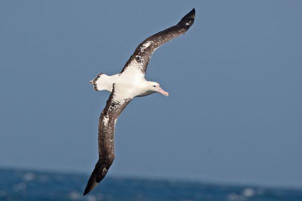 2011-04-11-tristan-albatross-001E9D516FB-B98E-95FB-5D55-C32C0B43CEA2.jpg