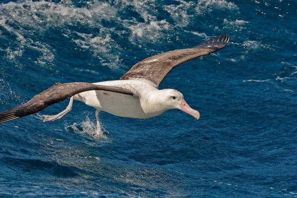 2011-04-11-tristan-albatross-018FAF1D02F-0216-65BA-F70D-A89791E07374.jpg