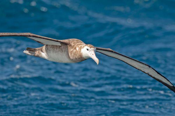 2011-04-11-tristan-albatross-02430E30DD2-A6C7-847B-0D2D-8EBC599632F2.jpg