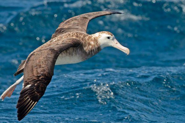 2011-04-11-tristan-albatross-028866A9EA2-34BE-FA0B-208D-F215F7EF8684.jpg