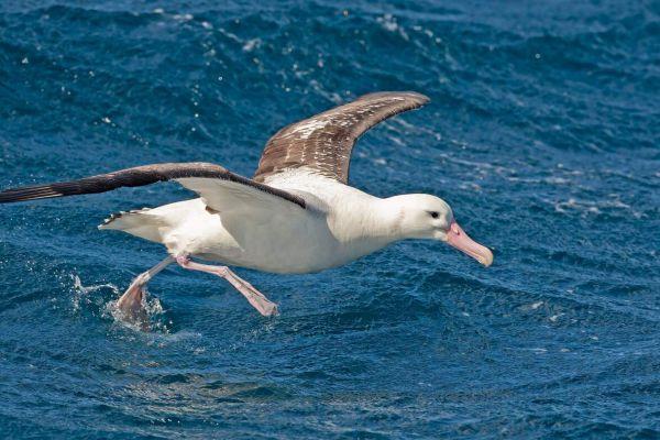 2011-04-11-tristan-albatross-050C567CAEF-9E6A-3708-F144-55BF737B255F.jpg