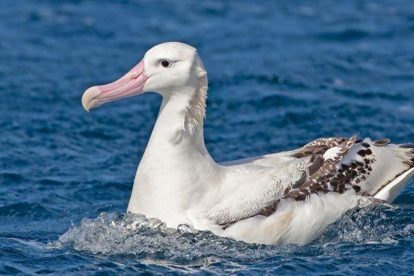 2011-04-11-tristan-albatross-0823DF0F365-E7FA-8449-5E62-25D8A27C89A2.jpg