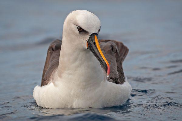 2011-04-14-atlantic-yellow-nosed-albatross-06046B8F2D8-C584-F4D5-5788-96433FAA3376.jpg