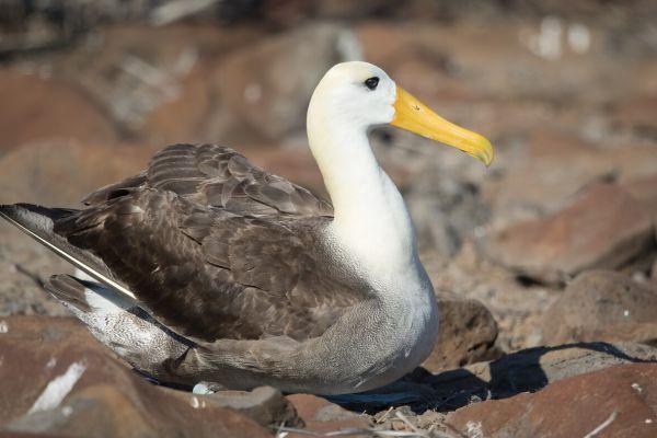 2016-12-10-waved-albatross-0037BB7CA626-540F-2005-E772-E4782768D365.jpg