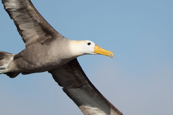 2016-12-10-waved-albatross-047172A2BB5C-8C56-36A1-DCDE-30AECE7BE020.jpg