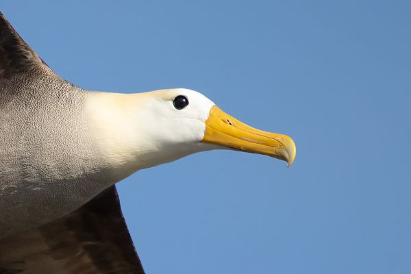 2016-12-10-waved-albatross-0599BCA7D823-21B7-DA31-BD37-3E2671DA401B.jpg