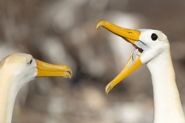 2016-12-10-waved-albatross-15482EB93F1A-C644-5082-FBBE-7CED9A7D90CB.jpg