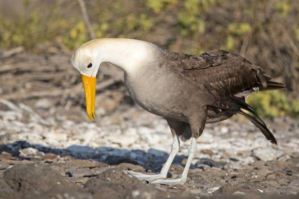 2016-12-10-waved-albatross-1619C5695A0D-718F-A6A8-A6C0-6BC265700AE8.jpg