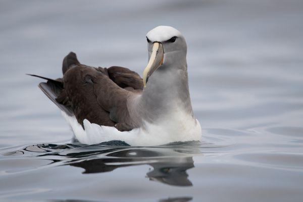 2019-03-04-salvin-s-albatross-00338EC2E0F3-247B-87ED-78FD-A3681DECDFC3.jpg