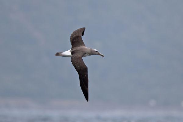 2019-03-04-salvin-s-albatross-00560BA3DD75-3203-7DD7-904D-76470BE94EF3.jpg