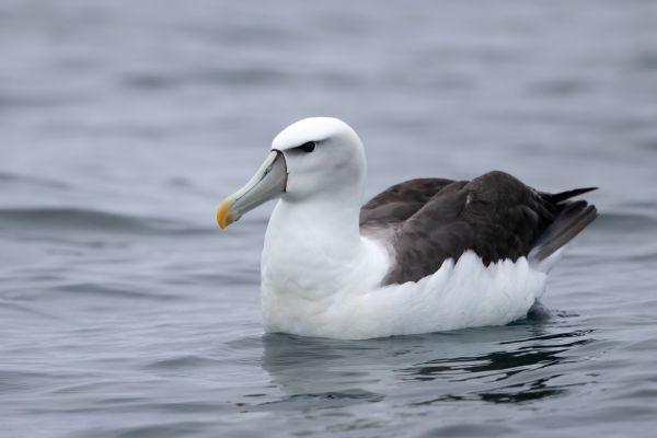 2019-03-04-shy-albatross-0044F2FD6897-8030-19C4-69E1-99D33CAFF032.jpg