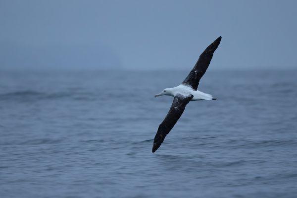 2019-03-04-southern-royal-albatross-00017920638C-0F94-9A34-F76A-36558B536341.jpg
