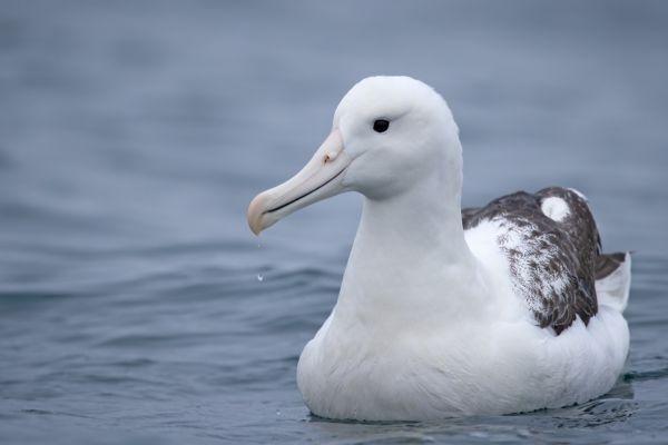2019-03-04-southern-royal-albatross-002403C29E08-5FBC-6FBD-254B-25E1BC6FD6B4.jpg