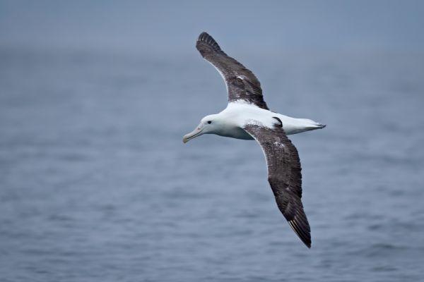 2019-03-04-southern-royal-albatross-0042885DDC55-0D61-7055-5D8F-B474EE2AFC7B.jpg