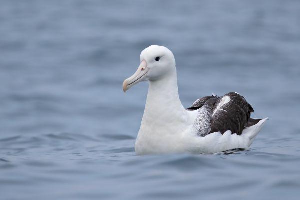 2019-03-04-southern-royal-albatross-005601B061D0-81AB-A103-5195-18098F9527BC.jpg