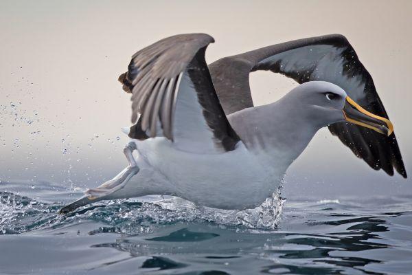 2019-03-11-buller-s-albatross-0037CC6235AC-EB2B-4DE7-2DA0-E6E9E186F3D1.jpg