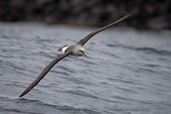 2019-03-11-buller-s-albatross-0149055DF1AD-A79E-9BBD-BA13-6FFAF50678C4.jpg