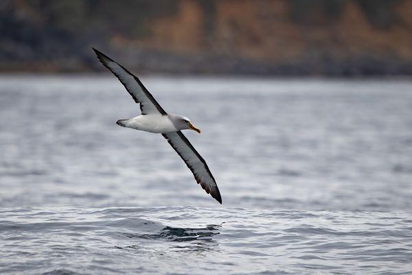 2019-03-11-buller-s-albatross-02213E6EBE60-4D0F-C3D4-6161-B74CFEAE0533.jpg