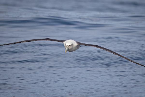2019-03-11-shy-albatross-001280793334-0A49-1A4D-6507-073C1427D0E1.jpg