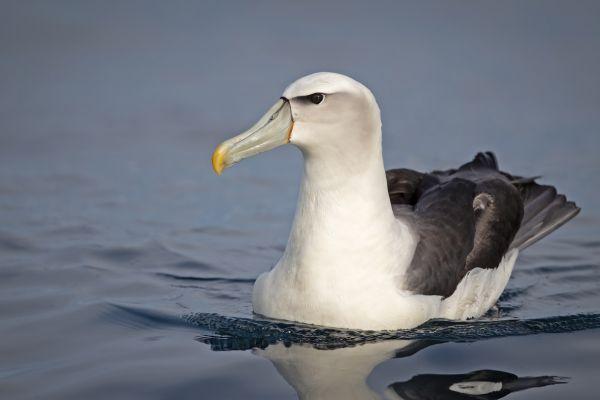 2019-03-11-shy-albatross-0014B11C3882-8EBF-BC55-8C0D-F0FD65F789FA.jpg