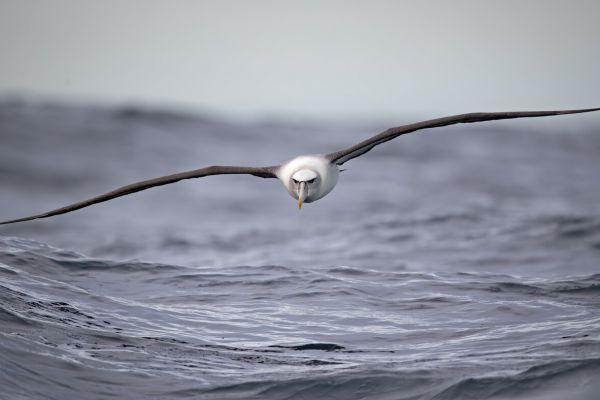 2019-03-11-shy-albatross-0053CFDF9524-65D0-9DFF-2909-F4C4F53D0590.jpg