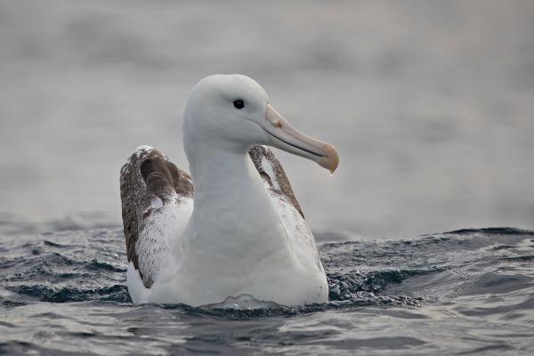2019-03-11-southern-royal-albatross-0010CF3E9D85-CC61-8CFF-5C7F-B15F66E19C2C.jpg