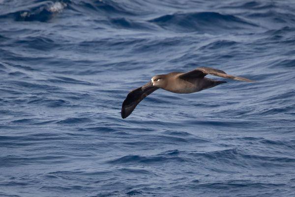 2019-04-10-black-footed-albatross-00349D0A13D1-EE2E-AFCB-E20E-6C2D14B4031A.jpg