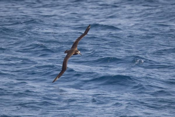 2019-04-10-black-footed-albatross-0060E50FC380-AB7C-4208-9A72-417B8CB085A3.jpg