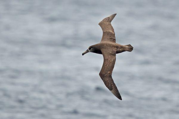 2019-04-12-black-footed-albatross-0133D2BB577A-7E76-C485-9C0F-323F6A8B9007.jpg