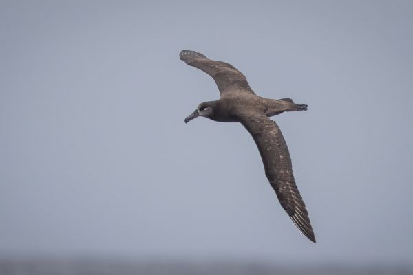 2019-04-12-black-footed-albatross-01884EBBF684-8425-9335-C652-018BD35A05D0.jpg