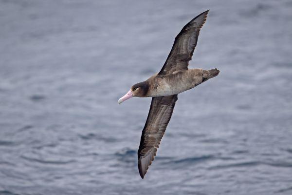 2019-04-12-short-tailed-albatross-0124-261EAD35C-4C33-550E-4814-423EDC6C6E03.jpg