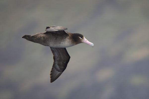 2019-04-12-short-tailed-albatross-01926D5A665D-152A-68EC-3026-1FC6B7761374.jpg