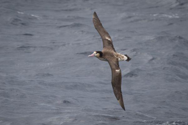 2019-04-12-short-tailed-albatross-0266032F820B-CA07-7373-F474-FDAC132E69F0.jpg