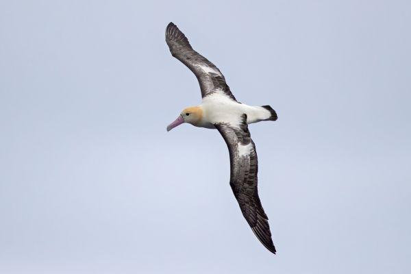 2019-04-12-short-tailed-albatross-0519C12CD1EE-4C11-895E-6F68-2B64185CEF89.jpg