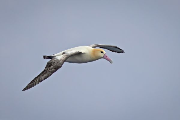 2019-04-12-short-tailed-albatross-05741AF45D96-8CEF-62A1-2C2D-9395DDF5E87D.jpg