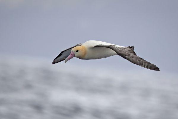 2019-04-12-short-tailed-albatross-063414123C22-DEF1-C362-ED0E-2135694473DF.jpg