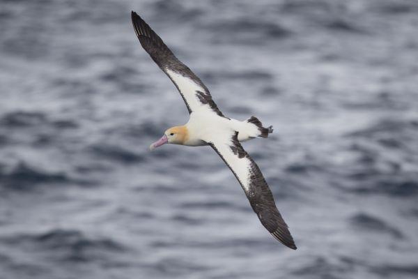 2019-04-12-short-tailed-albatross-0715-2BC90BC9D-B88F-6995-B172-F9E7D0A7AC5A.jpg