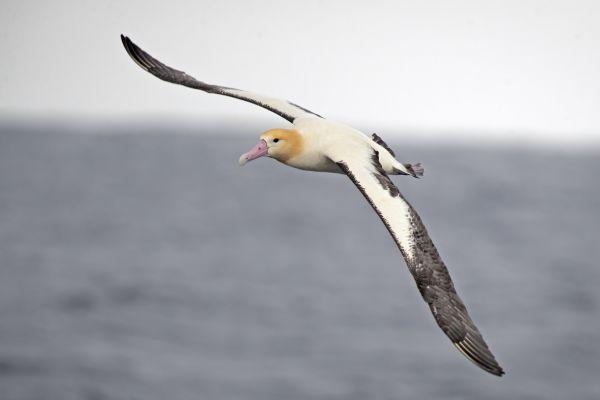 2019-04-12-short-tailed-albatross-07353444AF16-AE54-0475-79F0-AC33A990BEF3.jpg