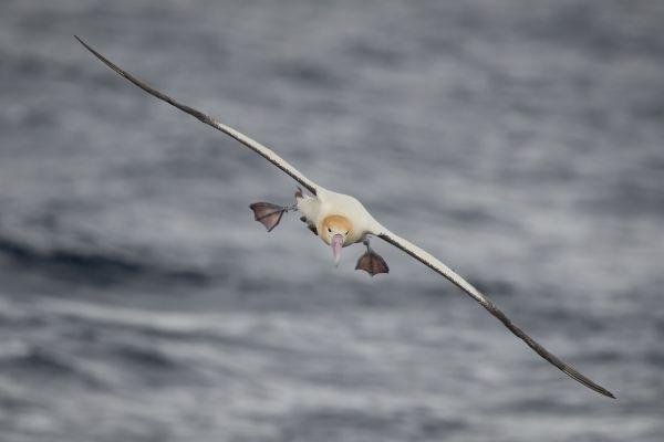 2019-04-12-short-tailed-albatross-07738E407E63-59E7-DBFC-8E76-DBC56099B1E1.jpg