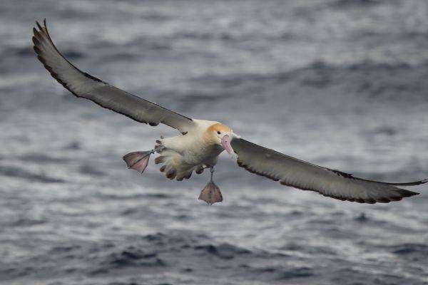 2019-04-12-short-tailed-albatross-07795B3FEDCA-DDE4-EADB-F590-27588B759D92.jpg