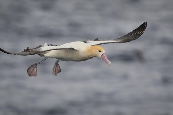 2019-04-12-short-tailed-albatross-0865EF3E8F68-4BF6-601C-E33A-58FF87527EFE.jpg