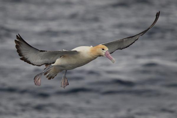 2019-04-12-short-tailed-albatross-08720F2DECDE-D120-C0C6-CC78-C438C62A66F5.jpg