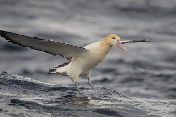 2019-04-12-short-tailed-albatross-0875EAD94332-B358-85D1-519F-89B59F6CCC3F.jpg
