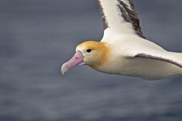 2019-04-12-short-tailed-albatross-09601C0BF16B-6257-94AD-A483-BFFB46146A94.jpg