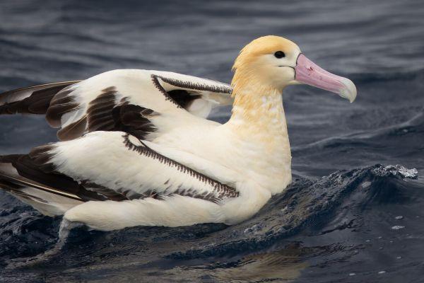 2019-04-12-short-tailed-albatross-0967885420E9-2553-4080-154A-ECDC568D86CF.jpg