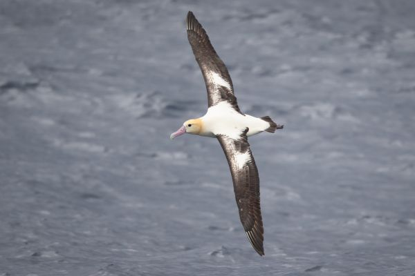 2019-04-12-short-tailed-albatross-1069A1CA2AE7-5383-8902-D699-C9043F930706.jpg