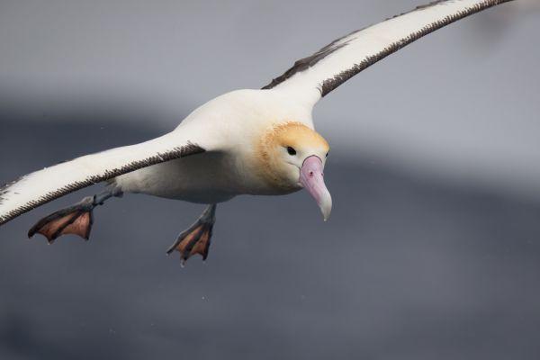 2019-04-12-short-tailed-albatross-10805E492517-2136-BC8D-C436-9ECA65E956C6.jpg